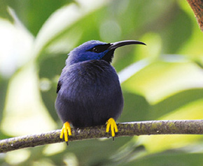 Purple Honeycreeper – male    (as you can see a stunning bird with yellow feet contrasting with the purple blue feathers).